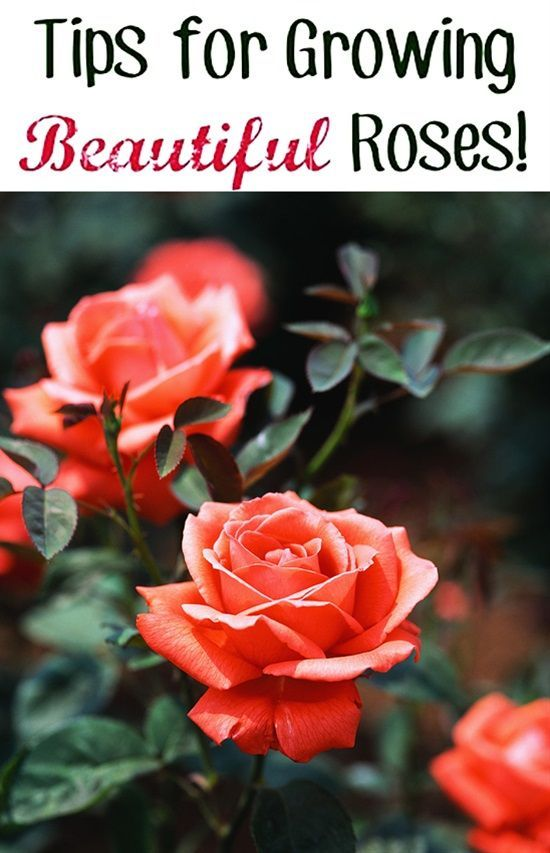 Tips For Growing Roses