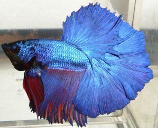 Young Halfmoon Male Live Betta Fish 006