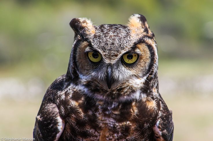 Owl by Stéphanie Masson on 500px - Owl in Cap Tourmente National Wildlife Area, Quebec, Canada.
