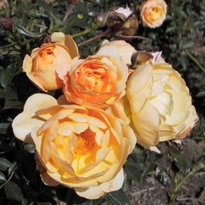 Rosa 'Amber Cover'