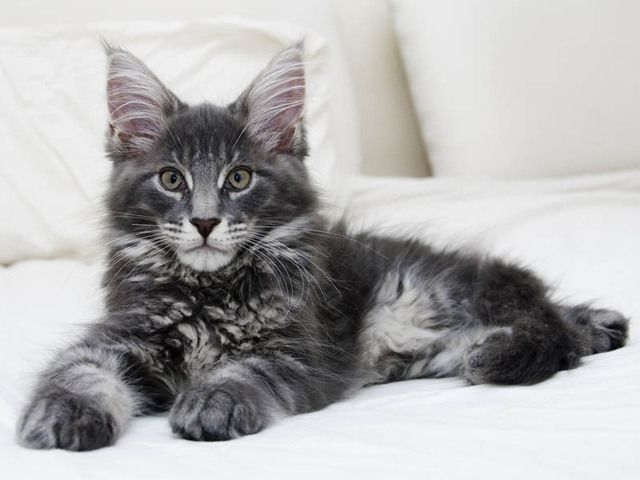 Maine Coon   Gorgeous blue Maine Coon