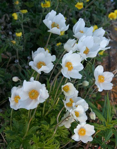 Iceland S National Flower Mountain Avens Dryas