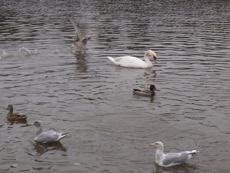 A take-off captured amidst seagulls, swans and ducks