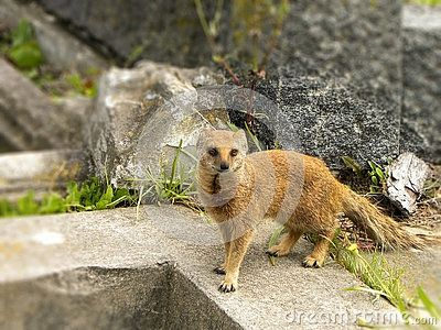 A close-up view of a Yellow Mongoose hunting for invertebrates in a graveyard.
