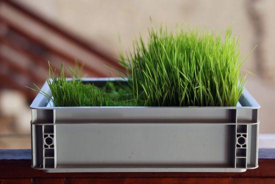 Nur noch wenige Wochen zu leben? 74-jähriger Krebspatient durch Weizengras geheilt