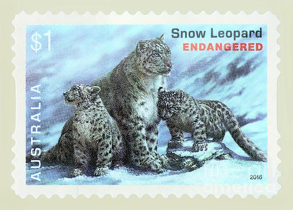 My #photograph of an Australian $1 Postage Stamp of the #Snow #Leopard, an endangered species. #Postage #Stamp - #Snow #Leopard by #Kaye_Menner Photography Quality Prints Cards products with a money-back guarantee at: https://kaye-menner.pixels.com/featured/postage-stamp-snow-leopard-by-kaye-menner-kaye-menner.html