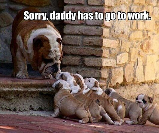Bulldogs and puppies, Caption Sorry, Daddy has to go to work,  funny animal memes, animal pictures with captions, funny animals