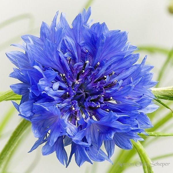 """""""Cornflower"""" could be nice"""
