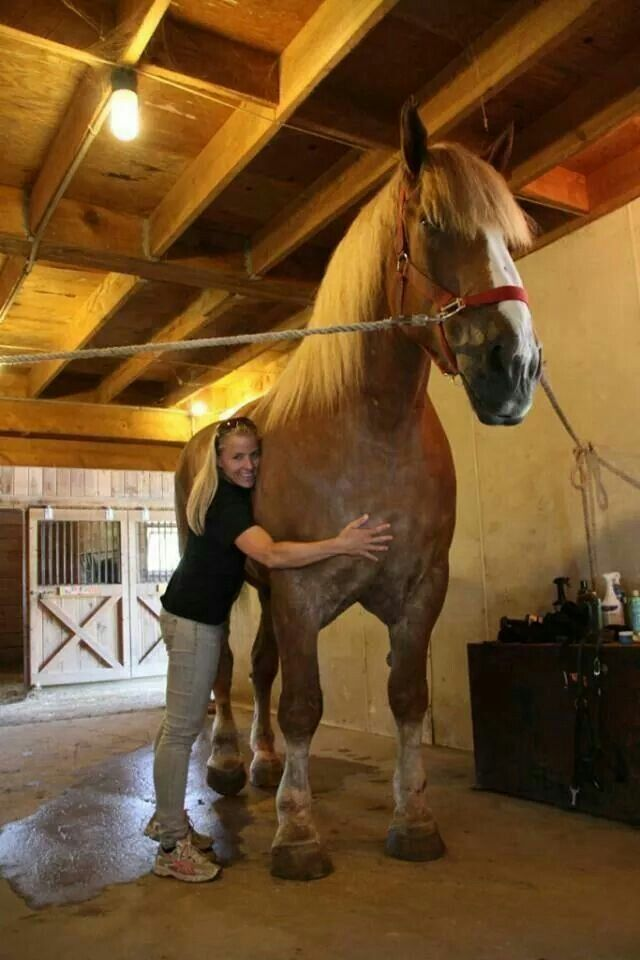 """In 2013 the Belgian draft horse Big Jake was registered in the Guiness World Records as the tallest horse in the world standing at 210.2 cm (82.75""""). At 2600-pound he is  on a strictly healthy diet, consuming 1 1/2 bales of hay and 40 quarts of oats per day : }"""