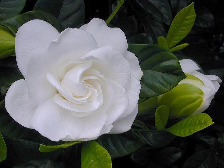 Webshots Home & Garden, the best photos flower wallpaper ahhhhhh... the smell of the gardenia.