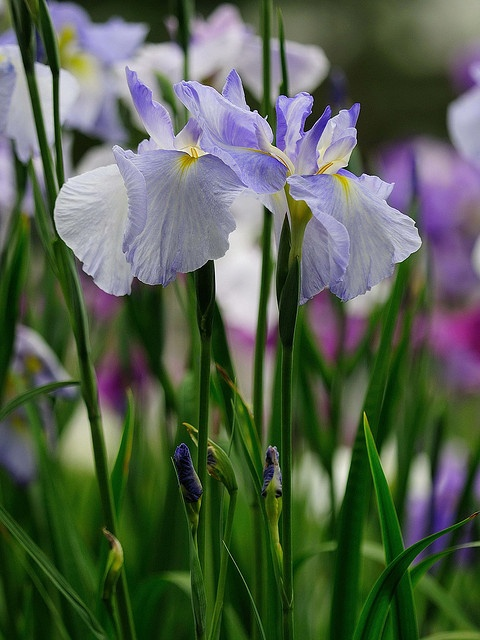 Japanese iris 'Nanairo no Yume'.  Photo: luisa_m_c_m_cruz via Flickr