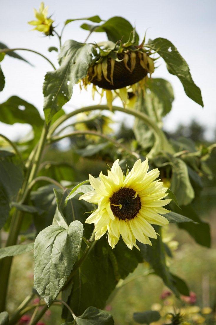 sunflowers-helianthus-britt-willoughby-dyer-gardenista-BN2A0224