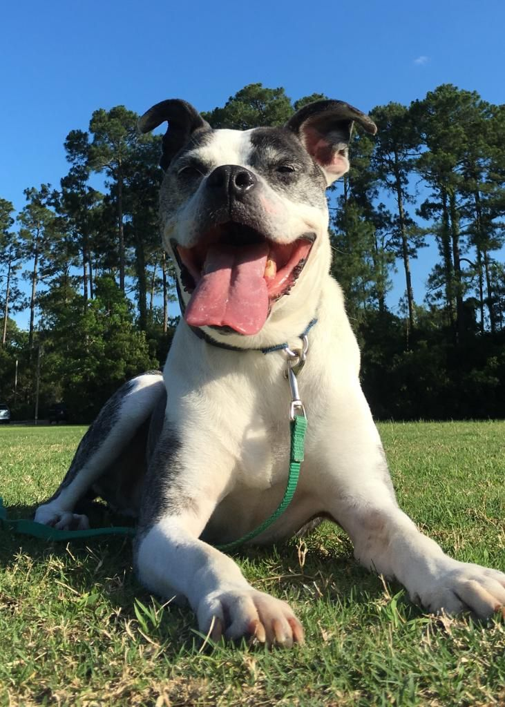 8/17/16 PRIME TIME (PT) is an adoptable Pit Bull Terrier searching for a forever family near Hilton Head Island, SC. Use Petfinder to find adoptable pets in your area.
