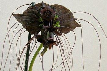 Takka - roślina o niezwykłym wyglądzie