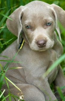 Weimaraner...they are the sweetest big dogs you'll ever meet! they have a TON of energy though lol