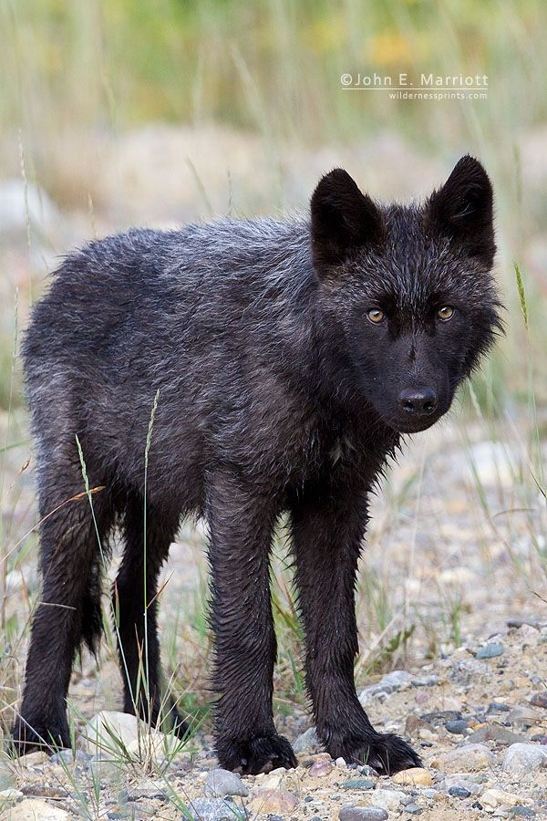 A young black wolf pup checks out the photo blind with curiosity.        John E Marriott Canadian Wildlife and Nature Photography