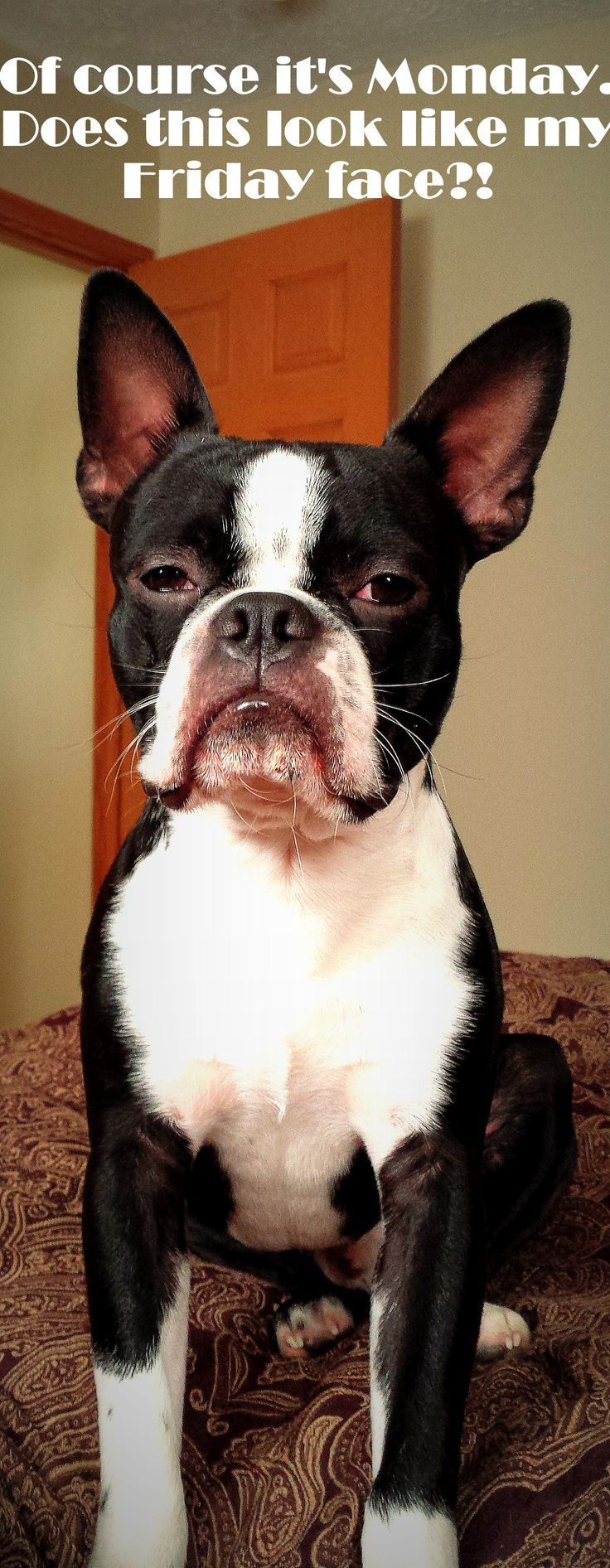 """Grumpy Boston Terrier- """"Of course it's Monday. Does this look like my Friday face?!"""""""