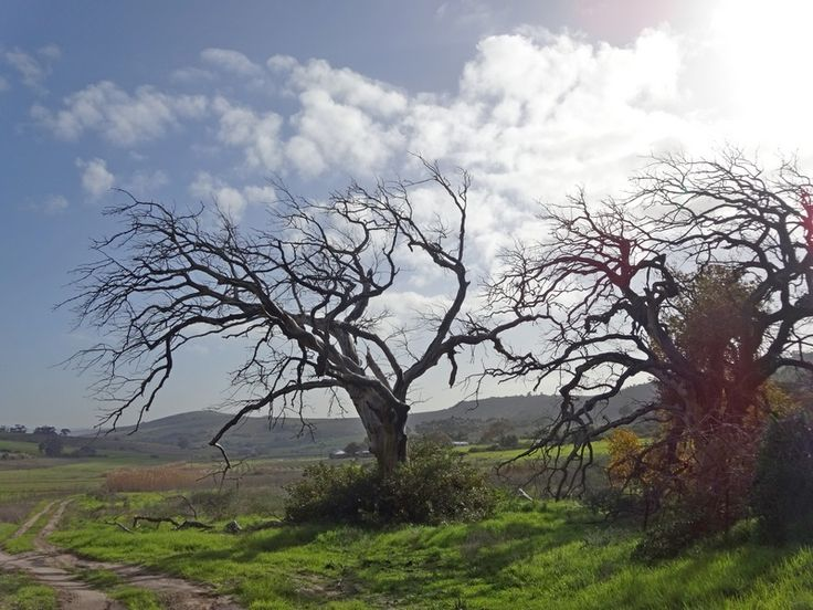 #Trees #Fire Consequences of fire 3 years later - this winter the burnt trees are toppling