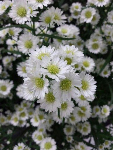 13 best filler flowers images on pinterest bellis perennis chelsea white aster mightylinksfo
