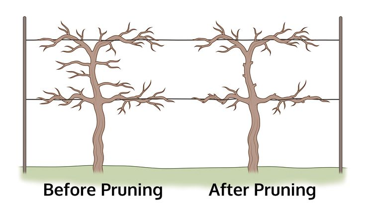 In addition to support, pruning grapes is a vital part of their overall health. Regular pruning is essential for controlling grape canes and producing quality fruit yields. Read this article to learn how to prune grapes.