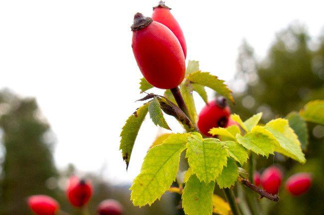 Escaramujo, una fruta silvestre concentrada en vitamina C   http://paraadelgazar.ws/escaramujo-una-fruta-silvestre-concentrada-en-vitamina-c/