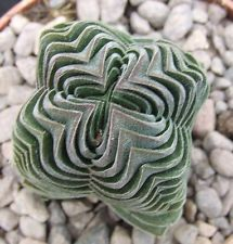 Crassula 'Buddha's Temple' choice 5.5cm US Hybrid collector succulents / cactus