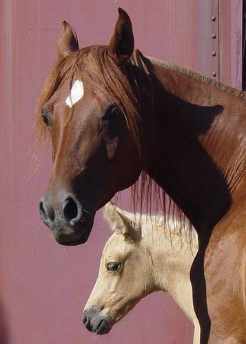 Watchful Mom - Horses - by Back Yard Shutterbug