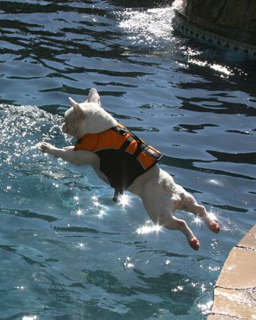 I'm going in! Wet dog #water #wet #dog lol haha silly crazy pet puppy pup animal love pool jump jumping