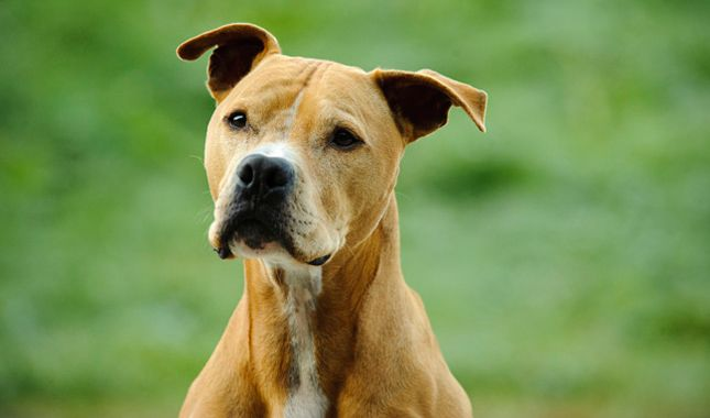 a paper on american pit bull terrier and the history of the breed There is the american pit bull terrier and is the only superdog in the history of the breed to earn unintentionally raised human aggressive pit bulls.