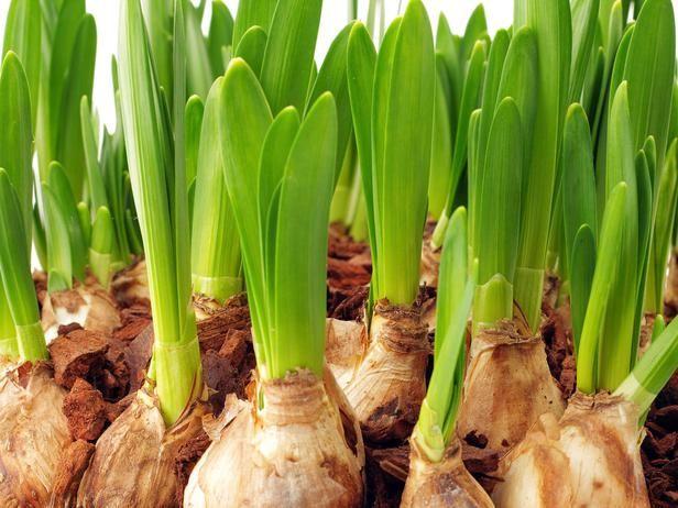 Growing Bulbs Indoors | Outdoor | Garden bulbs, Planting ...