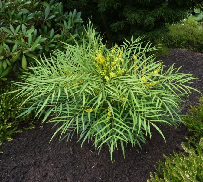 mahonia soft caress | Chelsea Plant of the Year Winner 2013 -Mahonia 'Soft Caress'