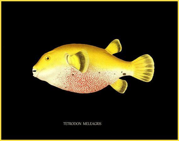 antieke Franse ichtyologie afdrukken tropische puffer vis