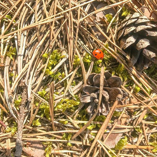 Another #ladybird  ... #nature #spring #springiscoming #springforest #wiosna #las #biedronka #wildlife #forest #poszycie #mech #simplelife #simpleliving #gooutside #outdoors