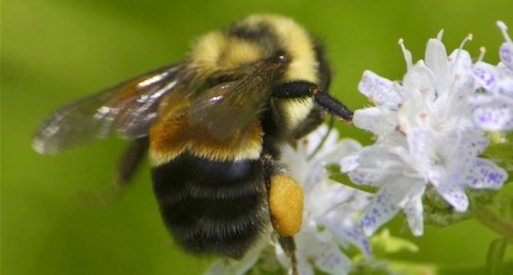 Rusty Patched Bumble Bee - Bombus affinis first bumble bee on endangered list  (Dan Mullen:Flickr)
