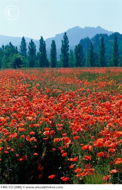 poppy field in france