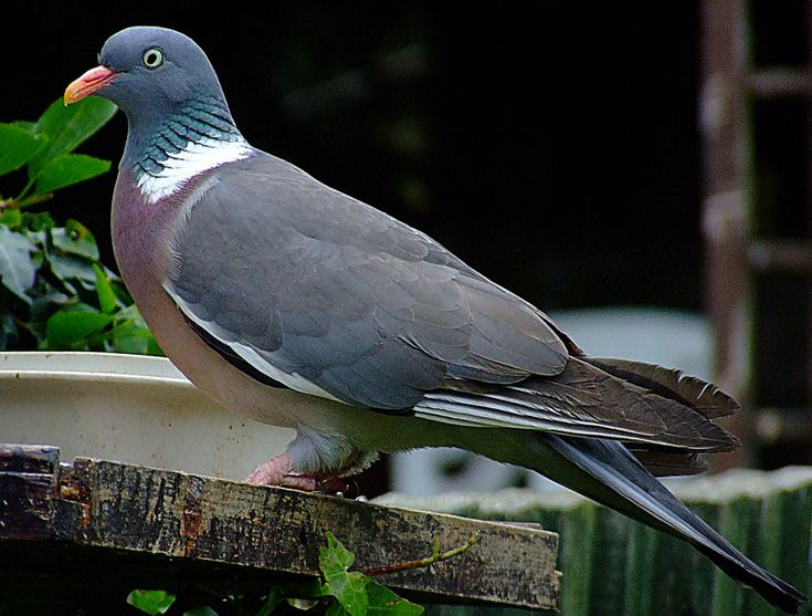 Woodpigeon- Lots of them around us but they don't often come in the garden. We see flocks of them grazing in the fields around us.