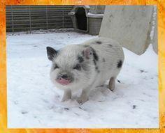 My Next Pet!!!!!!!!! Mini Micro Pigs - Miniature Pigs - Teacup Pigs - Juliana Pigs