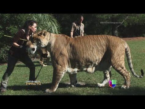 El Ligre - El Felino Más Grande del Mundo - The Liger - YouTube