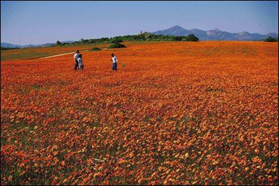 Wildflowers, Kamieskroon, Northen Cape, South Africa.