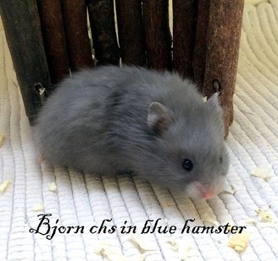 Bjorn chs in blue hamster