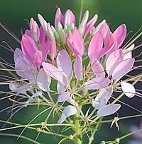 25 best spider flower cleome images on pinterest spider plants cleome pink an old flower that still packs a wallop of color and mightylinksfo