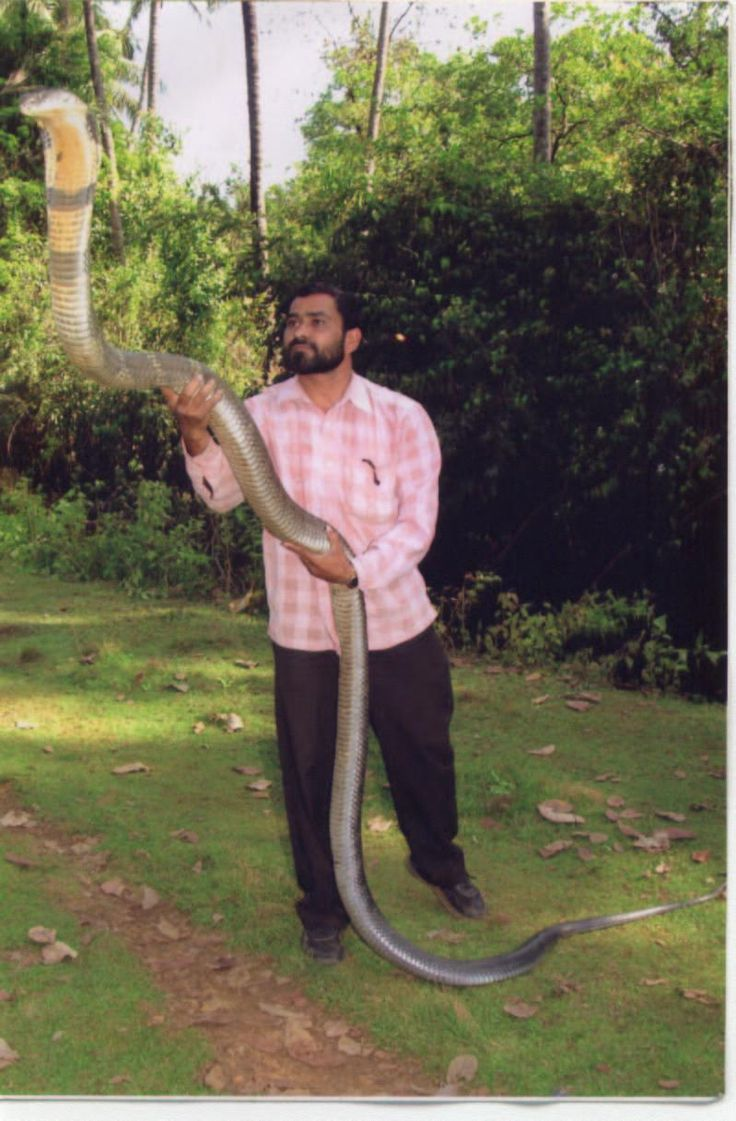At lengths upwards of 19 feet, the King Cobra is the longest venomous snake on Earth.