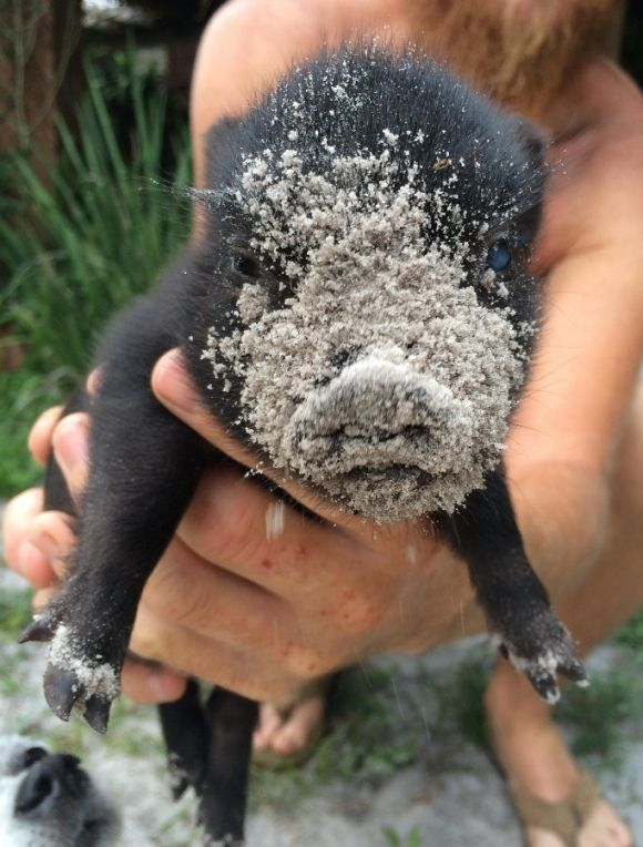 cute little black pig has sand on its face