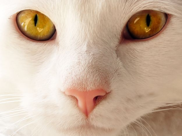 Image result for close ups of white cats