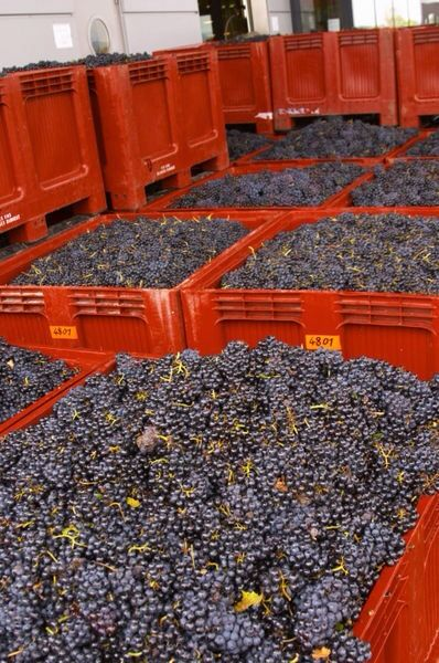 Vendanges Le raisin recolté, avant transformation