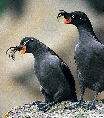 The Crested Auklet (Aethia cristatella) is a small seabird of the family Alcidae, distributed throughout the northern Pacific and the Bering Sea. It nests in dense colonies of up to 1 million individuals in the Bering Sea and the Sea of Okhotsk. #GaneschaBotTest