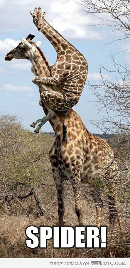 Spider! - Giraffe baby sitting up on mom giraffe's neck looking funny and scared. by Jio