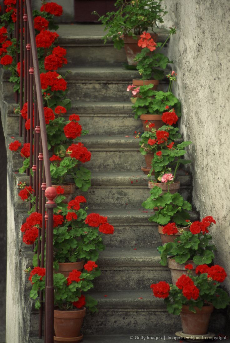 Potted geraniums lining sides of stairway Geraniums are so pretty. Plant in pots or in ground.