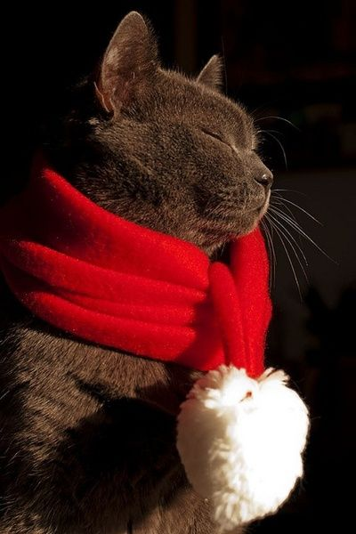 Gray cat with scarf.  For more Christmas cats, visit https://www.facebook.com/funholidaycats