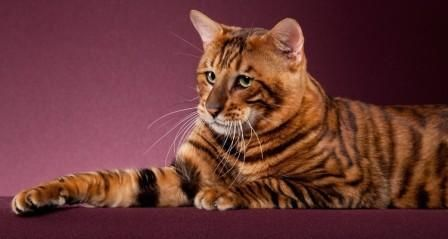 how long do domesticated cats live